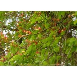 BAUHINIA carronii syn Lysiphyllum carronii