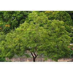 DALBERGIA latifolia