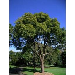 FLINDERSIA australis   *grams*