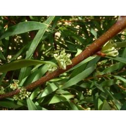 HAKEA salicifolia syn HAKEA saligna