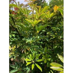 SCHEFFLERA arboricola 'Carolyn'