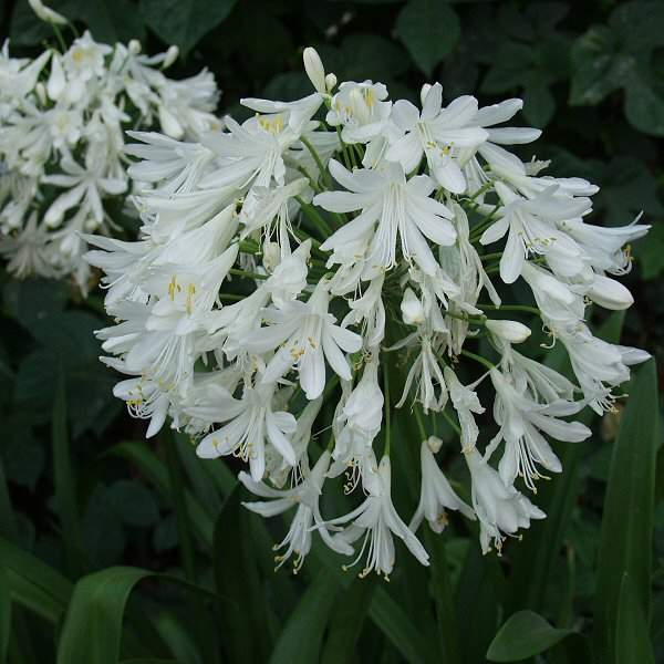 Agapanthus Getty White2