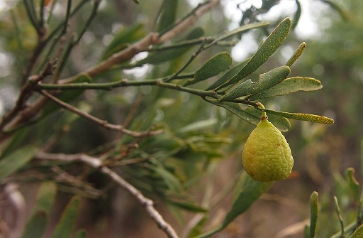 Citrus glauca 1 Fruit