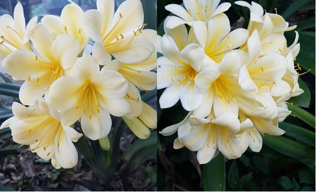 Clivia miniata Yellow 1