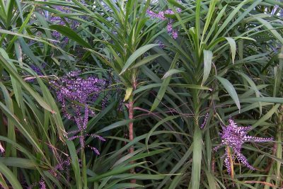 Cordyline stricta 1