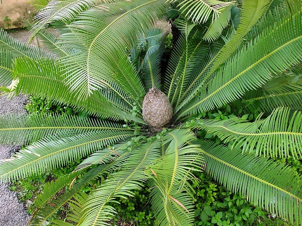 Dioon edule 1