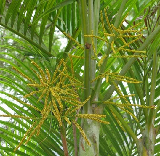 Dypsis lutescens 4 Flowers