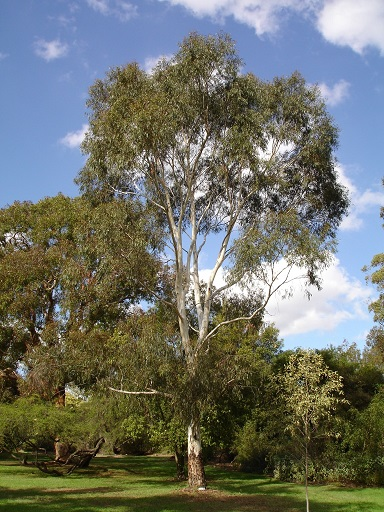 Eucalyptus scoparia 1
