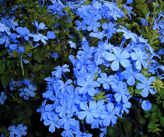 Plumbago capensis 2 Flower